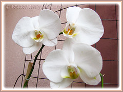 White Phalaenopsis Orchid cv. aphrodite (Moth Orchid, Phal.) blooming again in June 2, 2015