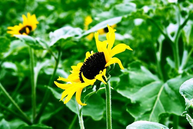 Sunflower2016