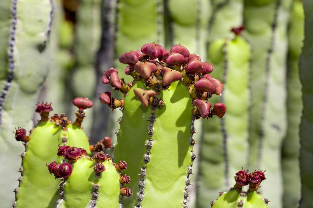 Cactus - Teno - Tenerife
