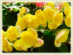 Captivating Begonia 'Double Rose-form Yellow'