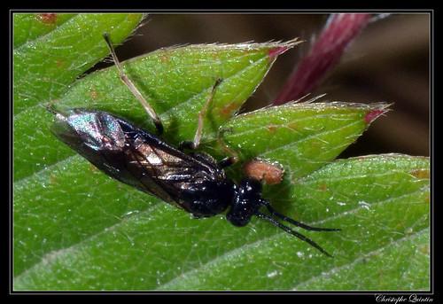 Tentredinidae/Nematinae