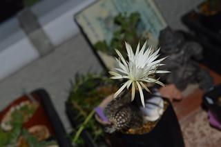 DSC_3811 Setiechinopsis mirabilis セティエキノプシス 奇想丸