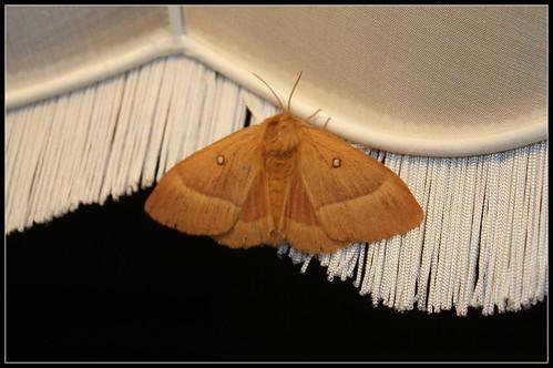 Lasiocampa quercus femelle , Bombyx du chêne
