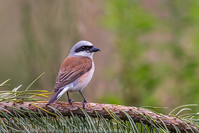 Red-backed shrike (L. collurio)