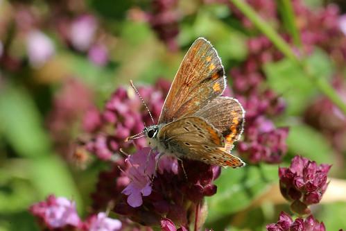 Brown Argus Aricia agestis