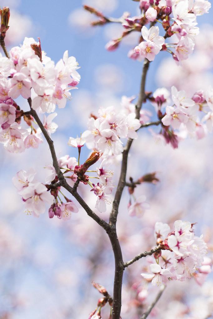 helgen när körsbärsträden blommade