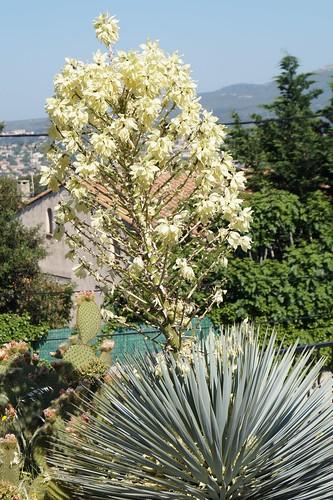 Yucca rostrata 18288350236_711a23597f
