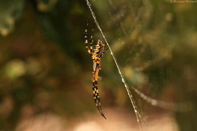 Rain posture in yellow garden spider