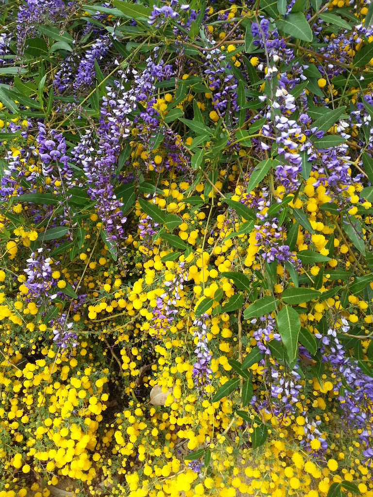 Hardenbergia trailing over Acacia