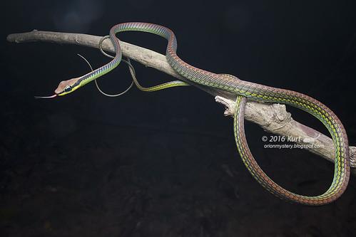 Dendrelaphis formosus_MG_4232 copy