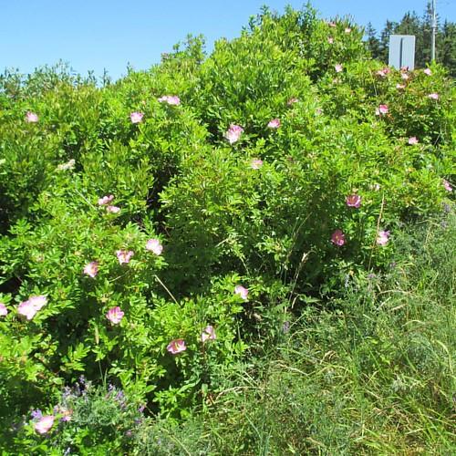 Wild roses by the road #pei #peinationalpark #dalvay #dalvaylake #roses #wildrose #latergram