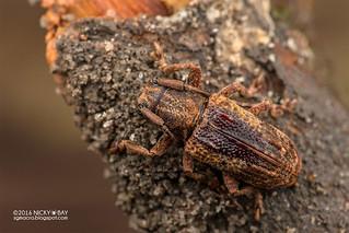 Longhorn beetle (cf. Pterolophia sp.) - DSC_7714
