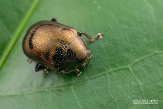 Leaf beetle (Chrysomelidae) - DSC_7521
