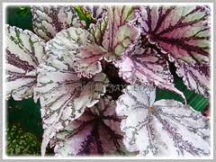 Please help ID unknown Begonia cultivar, 9 Dec. 2011