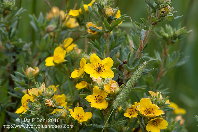 2016.07.21RMNPflowers10