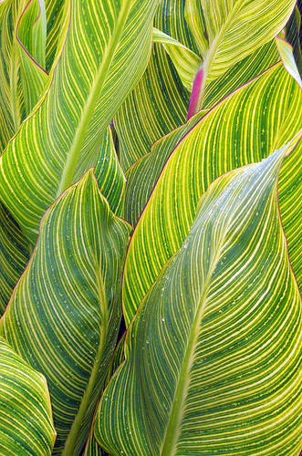 Striking leaves of the Canna Lily