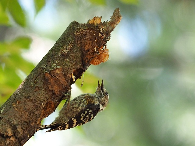 Japanese pygmy woodpecker (コゲラ)