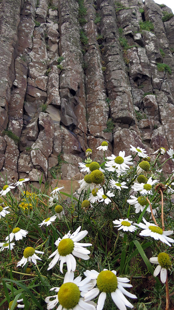 Daisies in front of the striking hexagonal basalt rock formations of Giant's Causeway in Northern Ireland, UK