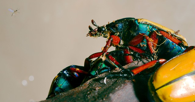 Jade Headed Buffalo Beetle_1