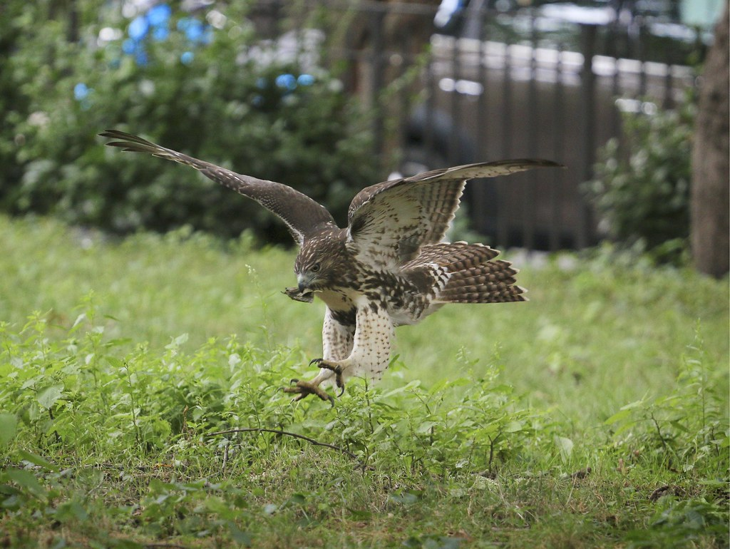 Hawk playing with leaves
