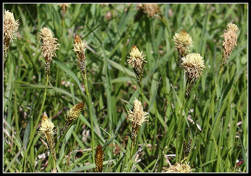 Carex caryophylla